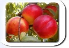Nectarine seedlings