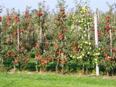 Saplings of fruit trees