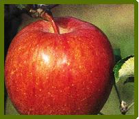Lobo elması