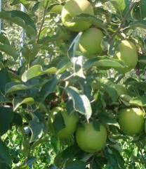 Bodur ve klasik elma fidan çeşitleri