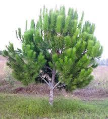 Fıstık Çamı ağacı fidanı