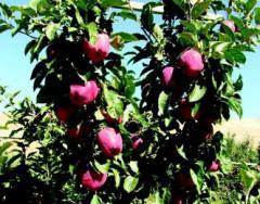 Gala elma fidanları