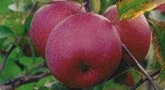 Elma fidanları- Fuji