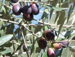 Gemlik zeytin fidanları