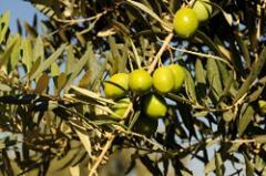 Memecik zeytin fidanı