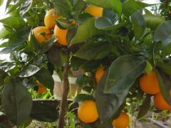 Portakal fidanı Washington Navel