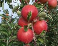 Elma Çeşitlerinden Breaburn Elma Üretimi ve
