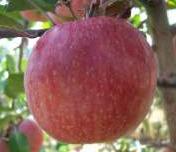 Elma Çeşitlerinden Fuji Elma Üretimi ve