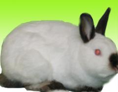 Minyatür tavşanı