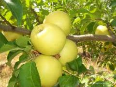 Golden elma fidanları