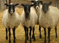 Koyunlar 02