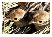 Keklik civciv