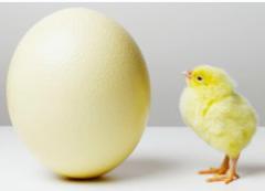 Yumurtacı tavuk civcivi