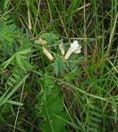 Macar fiği tohumları