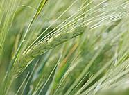 Karabuğday için biyoplazma uygulamaları