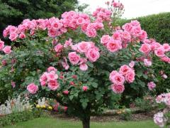 Trandafiri roşii