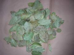 Laurel Leaves , Defne Yaprağı