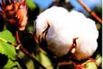 Dekoratif pamuk