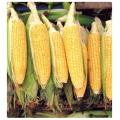 Haşlamalık mısır tohumu