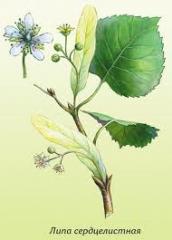 Lime seedlings