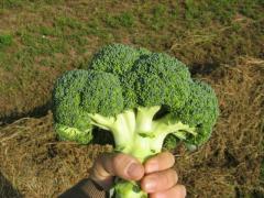 Brokoli tohumu