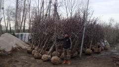 Prunus avium nana [Yarı Bodur Napolyon