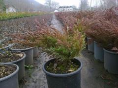 Juniperus sp. - Ardıç