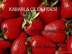 KABARLA ÇİLEK FİDESİ