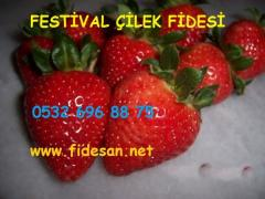 Festival çilek fidesi