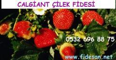 Calgiant çilek fidesi özellikleri, Calgiant çilek fidesi yetiştiriciliği,