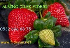 ALBİON ÇİLEK FİDESİ,albion çilek fidesi satışı,