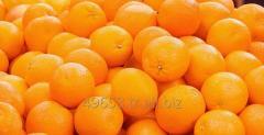 Fresh Navel Orange,Valencia Orange,Baladi Orange