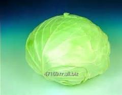 Amico beyaz lahana tohumu