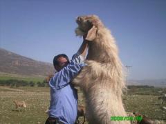 Nubian buck