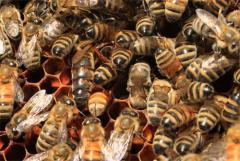 Kafkas Ana Arı ve İşçi Arılar