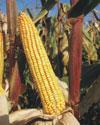 Bc 678 - FAO 600