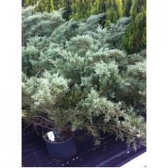 Juniperus Horizontalis-Yayılıcı Ardıç