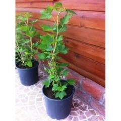 Ribes Rubrum-Frenk Üzümü