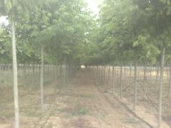 Saplings maple