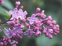 Syringa vulgaris - Leylak