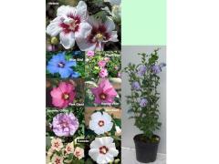 Hibiscus syriacus - Hatmi