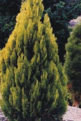 Thuja orientalis Aurea pyramidalis