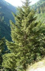 Doğu Ladini (Picea orientalis)
