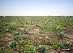 Balkabağı tohumu çeşit özelliği