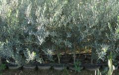 Edremit (Ayvalık) Zeytin Fidanı