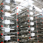Drinking systems for poultry