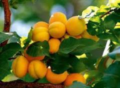 Göçer Çiftliği tarım sebze meyve kayısı; yaş ve