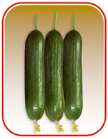 Seeds of cucumber