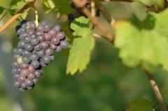 Şaraplık üzüm ürünleri