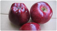 Scarlet spur elma fidanı